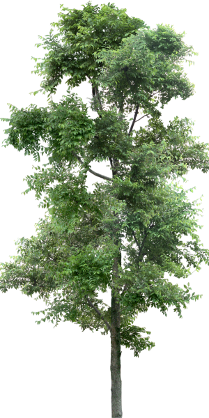 tree_PNG92699